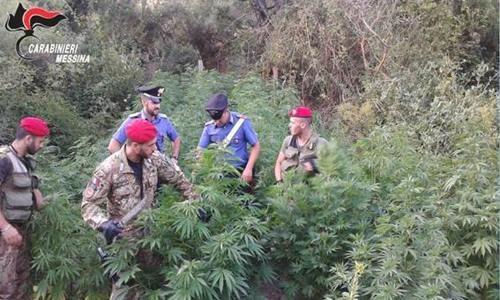 Assessore all'Agricoltura coltivava cannabis: 2 arresti a SanTeodoro