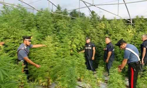 """Scoperta una maxi piantagione di """"marijuana"""" di 3000 mq"""