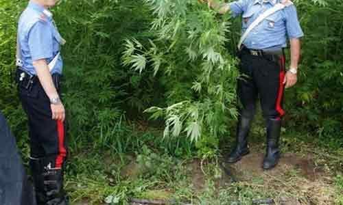 Padre e due figli arrestati: coltivavano una piantagione con 130 piante di marijuana
