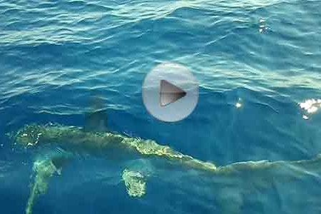 Avvistato squalo volpe nella spiaggia di Torre Salsa – VIDEO