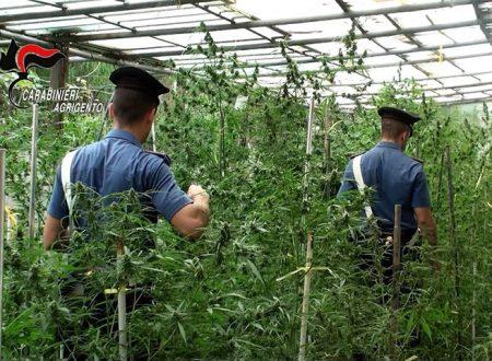 Ribera. Scoperta piantagione di marijuana tra ulivi e fichi d'India: arrestata coppia di 59 e 48anni