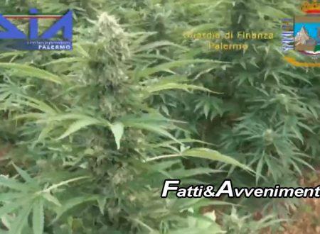 Partinico(PA). Dia e Fiamme Gialle scoprono vasta piantagione di marijuana: sei tonnellate sequestrate