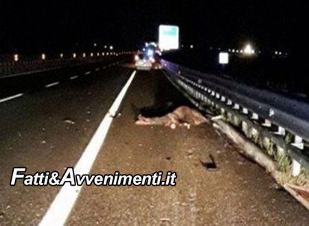 Tragedia sfiorata sulla Palermo-Mazara: un'auto travolge ed uccide un cavallo incustodito