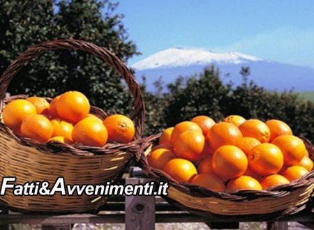 """Agrumicoltura. Confagricoltura: concorrenza sleale dai paesi africani, """"Le nostre arance vanno tutelate come il riso"""""""