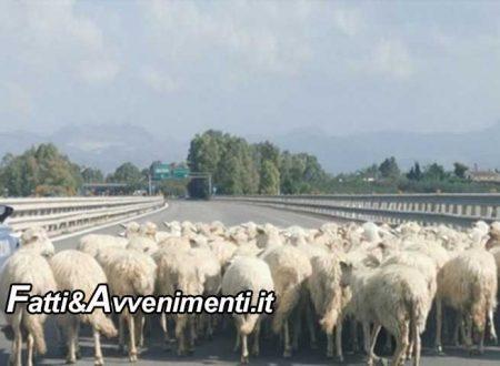 Gregge di pecore sull'autostrada Palermo – Mazara del vallo: provvidenziale l'intervento della polizia