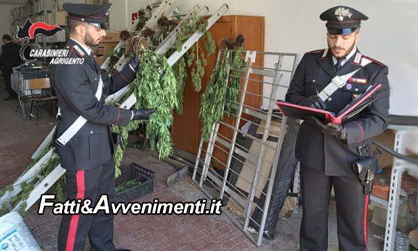 Ribera. Scoperta  piantagione di marijuana: i Carabinieri  arrestano un 50enne