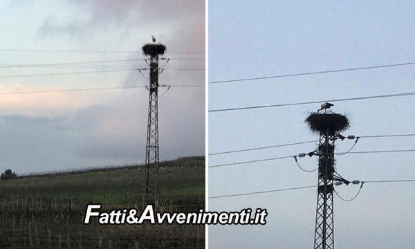 Sambuca di Sicilia. Cicogna nidifica in cima ad un traliccio dell'energia elettrica del lago Arancio