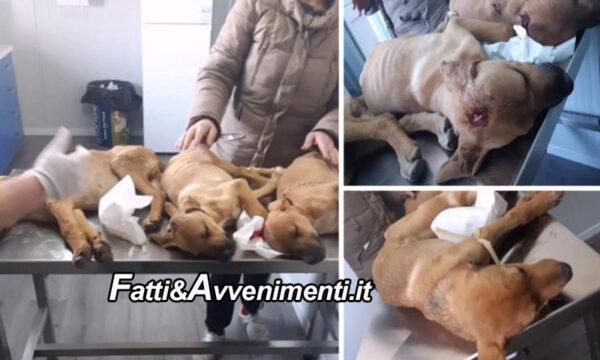 Butera (Cl). Tre cuccioli presi a picconate in testa: uno morto, gli altri due gravi, presi in cura da animalisti